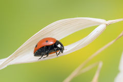 Ladybug on leaf Stock Photography