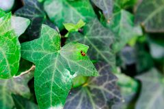 Ladybug on a leaf stock photography