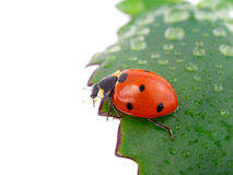 Ladybug on a leaf Royalty Free Stock Photos
