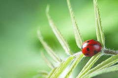 Ladybug on leaf Royalty Free Stock Images