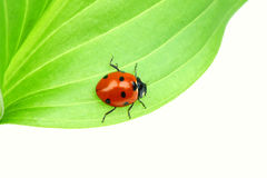 Ladybug on leaf Royalty Free Stock Image