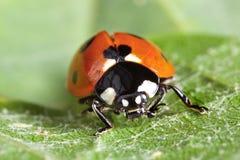 Ladybug on leaf Stock Photography