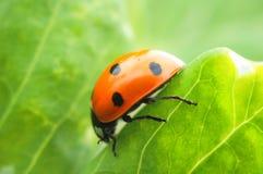 Ladybug on the leaf Royalty Free Stock Photo
