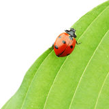 Ladybug on leaf Royalty Free Stock Photo