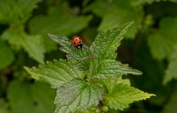 Ladybug on a leaf stock image
