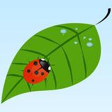 Ladybug on a leaf. Ladybug sitting on a leaf with dew Stock Image