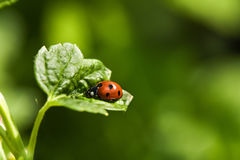 Ladybug on the leaf Stock Photography