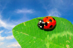 Ladybug on the leaf Stock Image
