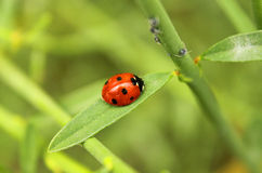 Ladybug on the leaf. A ladybug on the leaf Stock Photo