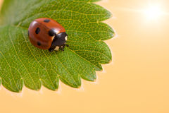 Ladybug on the  leaf Stock Photos