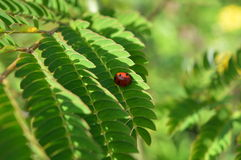 Ladybug on leaf. Beatiful ladybug on green leaf Royalty Free Stock Photos