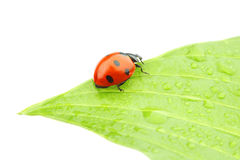 Ladybug on leaf Stock Image