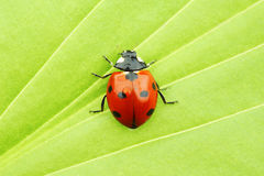 Ladybug on leaf. Ladybug on big green leaf Royalty Free Stock Images