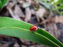 Ladybug on leaf. Ladybug is climbing on a leaf Royalty Free Stock Photo