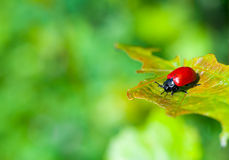Ladybug on the leaf Royalty Free Stock Image