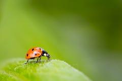 Ladybug on a leaf. Close-up of a ladybug on a leaf. Green background Stock Image