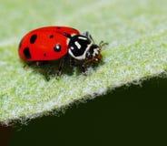 Ladybug on a Leaf Royalty Free Stock Images