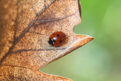 Ladybug on leaf, closeup Royalty Free Stock Photo