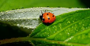 Ladybug in a leaf covered with dew Stock Images