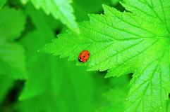 Ladybug on leaf of currant Royalty Free Stock Images