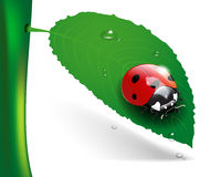 Ladybug on leaf with dew Royalty Free Stock Image