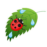 Ladybug. On leaf with dew drops Stock Photography
