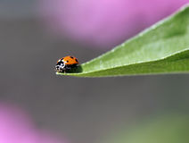 Ladybug on leaf edge Stock Images