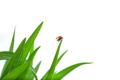 Ladybug on Leaf Flies Up Royalty Free Stock Photo