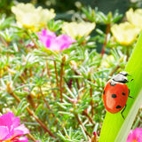 Ladybug on a leaf of grass illuminated by the sun on a backgroun Stock Image