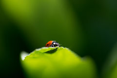 Ladybug on a leaf Royalty Free Stock Images