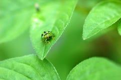 Ladybug on leaf Royalty Free Stock Photos