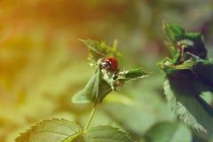 Ladybug on a leaf. Ladybug on a green leaf Stock Images