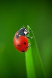 Ladybug on Leaf Royalty Free Stock Image