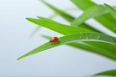 Ladybug on Leaf Royalty Free Stock Photography