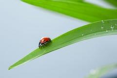 Ladybug on Leaf Royalty Free Stock Images