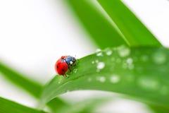 Ladybug on Leaf Stock Photos