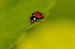 Ladybug on leaf Stock Photo