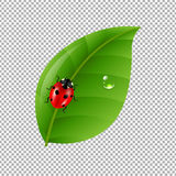 Ladybug With Leaf Isolated In Trasparent Background Royalty Free Stock Photos