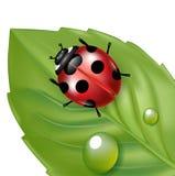 Ladybug and leaf isolated on white Royalty Free Stock Images