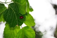 The ladybug and the leaf. A little ladybug resting on some green leaves in the forest stock image