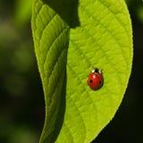Ladybug on leaf macrowith bokeh background, selective focus, shallow DOF Royalty Free Stock Photos