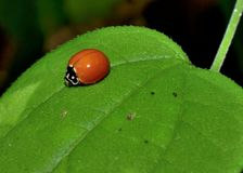 Ladybug on leaf with no spots on wings Stock Image