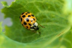 Ladybug on a leaf. Royalty Free Stock Image