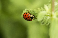 Ladybug on the leaf. Red ladybug on the leaf royalty free stock images