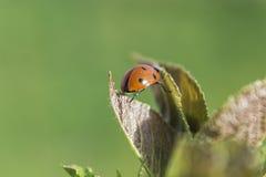 Ladybug Leaf Royalty Free Stock Photos