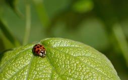 Ladybug on leaf. Ladybug resting on a grape leaf Stock Images