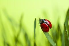 Ladybug on leaf. Ladybug sitting on green grass leaf Stock Photography