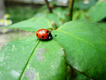 Ladybug on the leaf royalty free stock photo