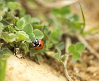 Ladybug on a leaf in a summer day Royalty Free Stock Image