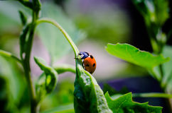 Ladybug on leaf. Ladybug on a leaf in the sunlight royalty free illustration